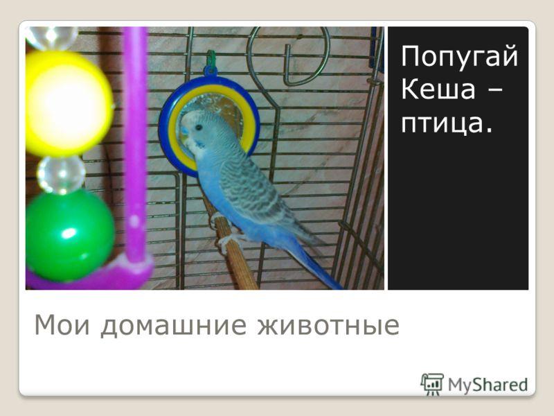 Мои домашние животные Попугай Кеша – птица.