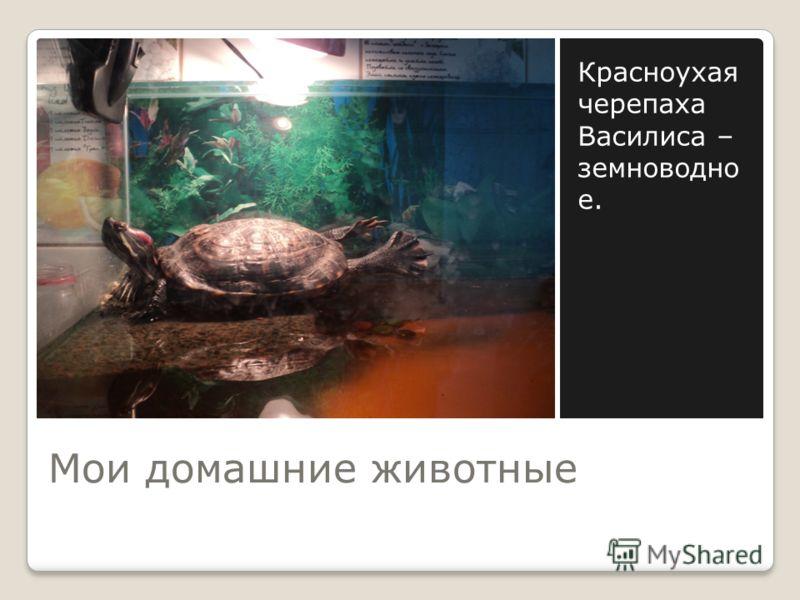 Мои домашние животные Красноухая черепаха Василиса – земноводно е.