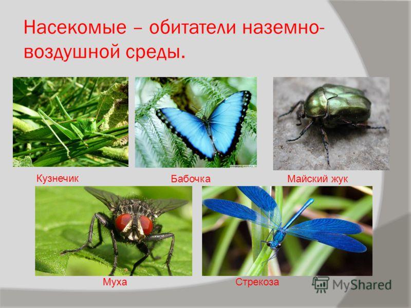 Насекомые – обитатели наземно- воздушной среды. Кузнечик Стрекоза Майский жукБабочка Муха