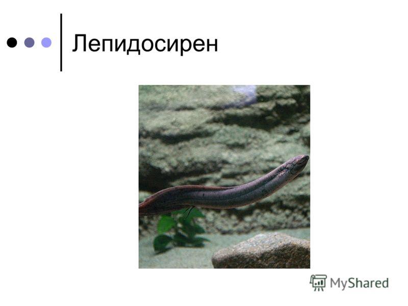 Лепидосирен