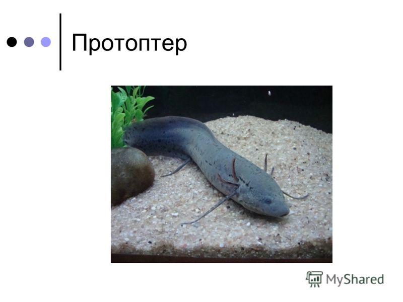 Протоптер