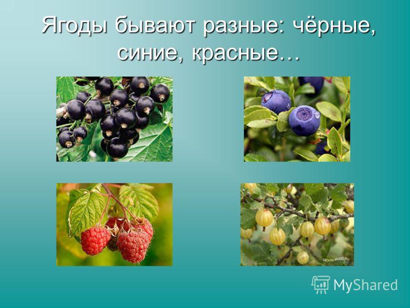Ягоды бывают разные: чёрные, синие, красные…