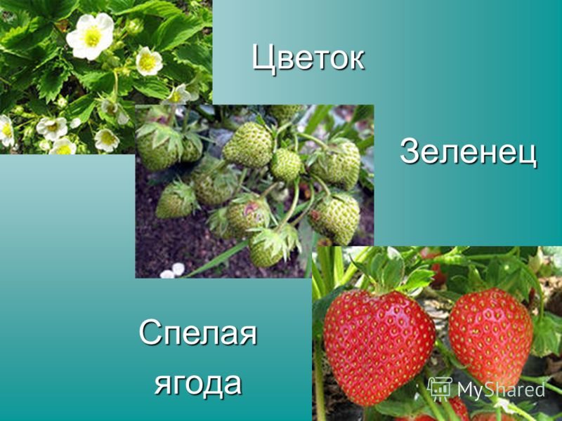 Цветок Зеленец Спелаяягода