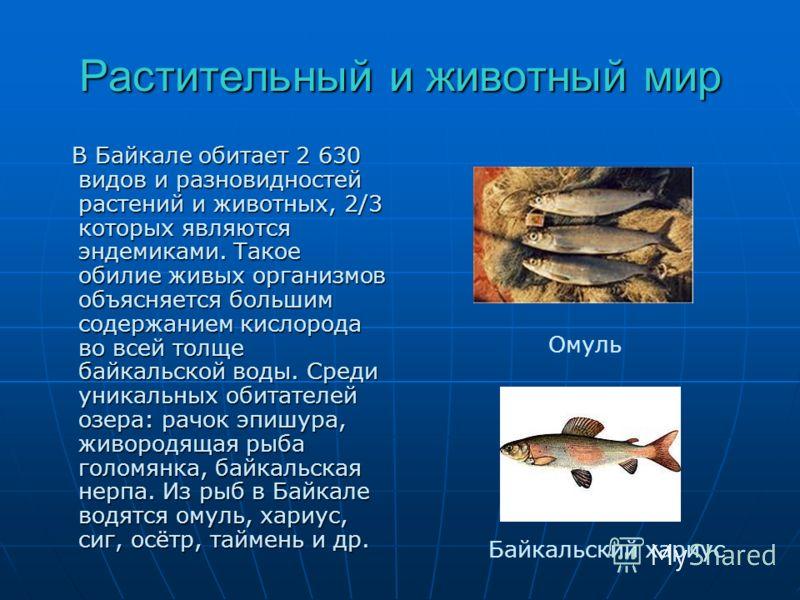 Растительный и животный мир В Байкале обитает 2 630 видов и разновидностей растений и животных, 2/3 которых являются эндемиками. Такое обилие живых организмов объясняется большим содержанием кислорода во всей толще байкальской воды. Среди уникальных