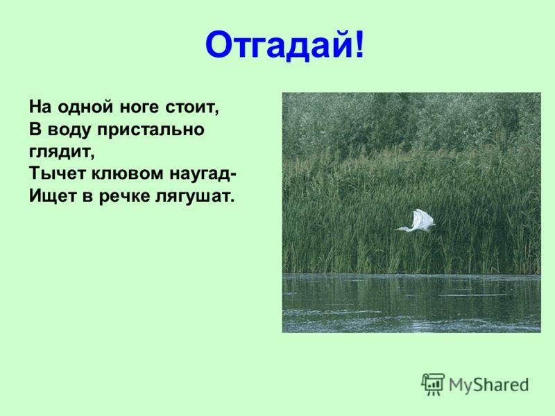 На одной ноге стоит, В воду пристально глядит, Тычет клювом наугад- Ищет в речке лягушат. Отгадай!