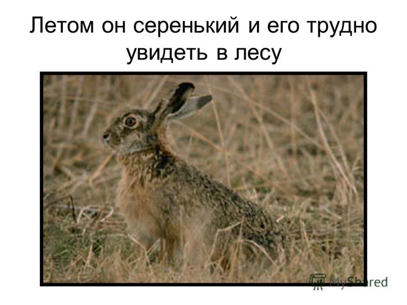 Летом он серенький и его трудно увидеть в лесу