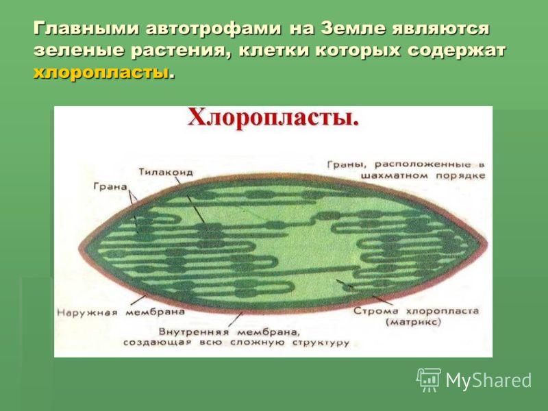Главными автотрофами на Земле являются зеленые растения, клетки которых содержат хлоропласты.