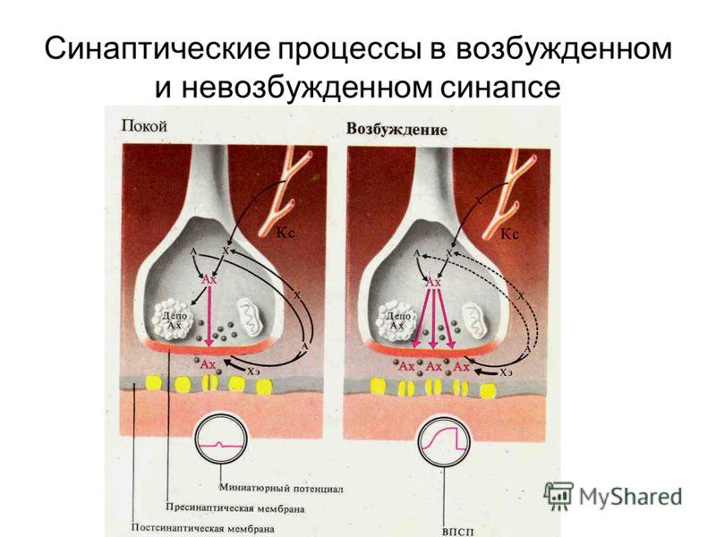 Синаптические процессы в возбужденном и невозбужденном синапсе