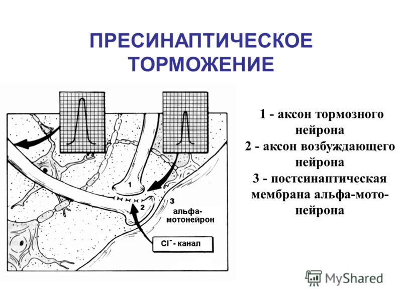 ПРЕСИНАПТИЧЕСКОЕ ТОРМОЖЕНИЕ 1 - аксон тормозного нейрона 2 - аксон возбуждающего нейрона 3 - постсинаптическая мембрана альфа-мото- нейрона
