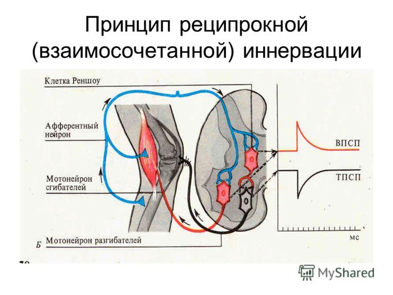 Принцип реципрокной (взаимосочетанной) иннервации