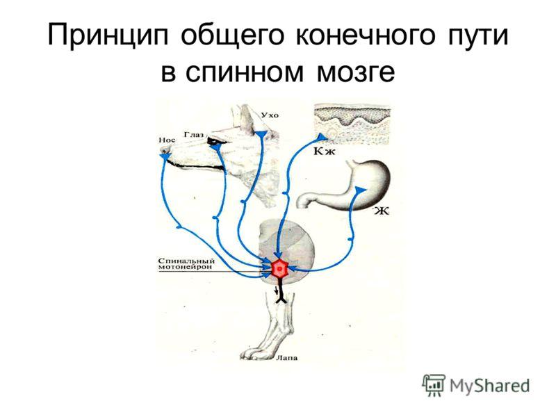 Принцип общего конечного пути в спинном мозге