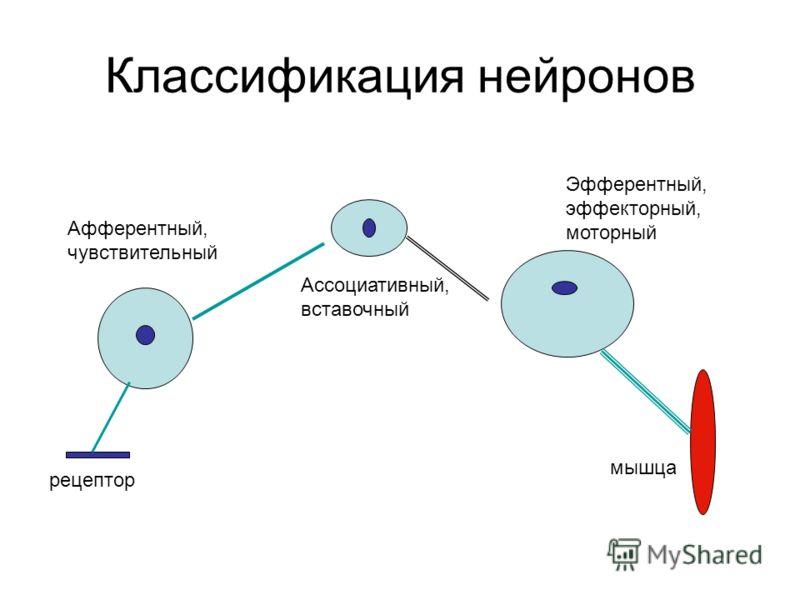 Классификация нейронов Афферентный, чувствительный Ассоциативный, вставочный Эфферентный, эффекторный, моторный рецептор мышца