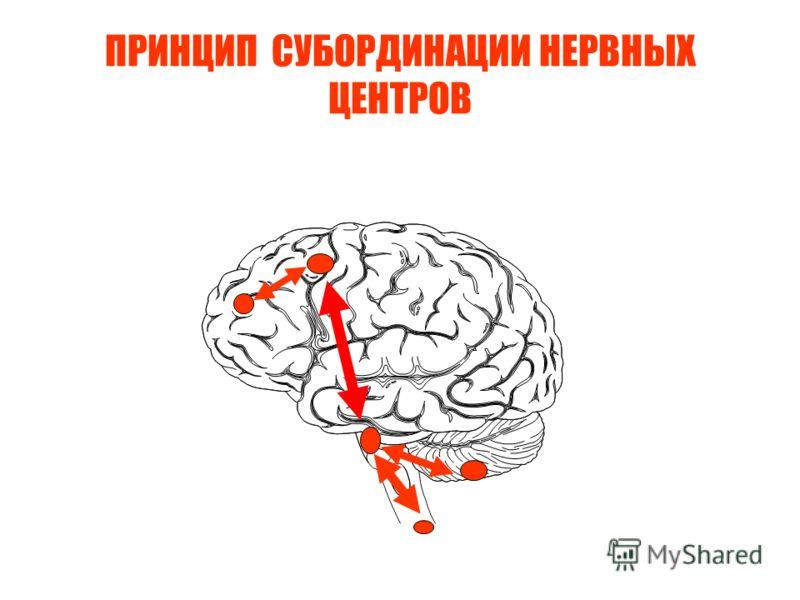 ПРИНЦИП СУБОРДИНАЦИИ НЕРВНЫХ ЦЕНТРОВ