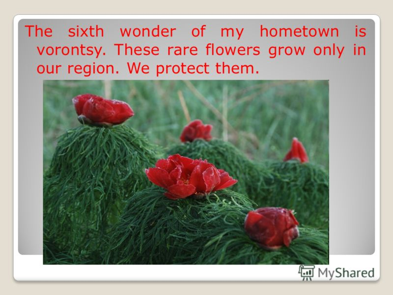 The sixth wonder of my hometown is vorontsy. These rare flowers grow only in our region. We protect them.