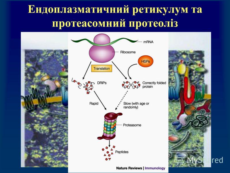 Ендоплазматичний ретикулум та протеасомний протеоліз