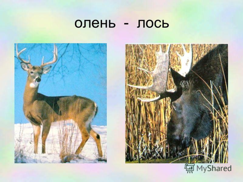 олень - лось