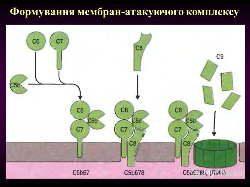 Формування мембран-атакуючого комплексу