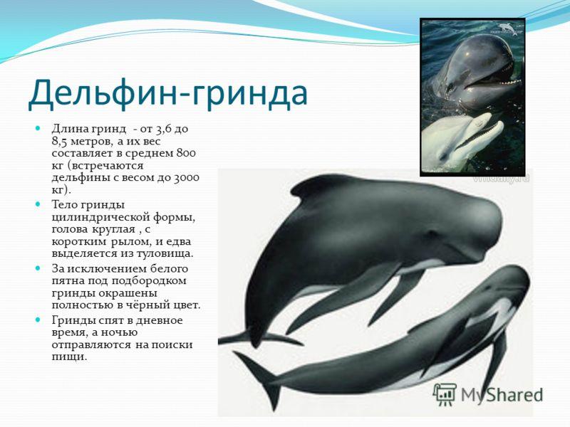 Дельфин-гринда Длина гринд - от 3,6 до 8,5 метров, а их вес составляет в среднем 800 кг (встречаются дельфины с весом до 3000 кг). Тело гринды цилиндрической формы, голова круглая, с коротким рылом, и едва выделяется из туловища. За исключением белог