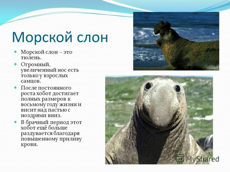 Морской слон Морской слон – это тюлень. Огромный, увеличенный нос есть только у взрослых самцов. После постоянного роста хобот достигает полных размеров к восьмому году жизни и висит над пастью с ноздрями вниз. В брачный период этот хобот ещё больше