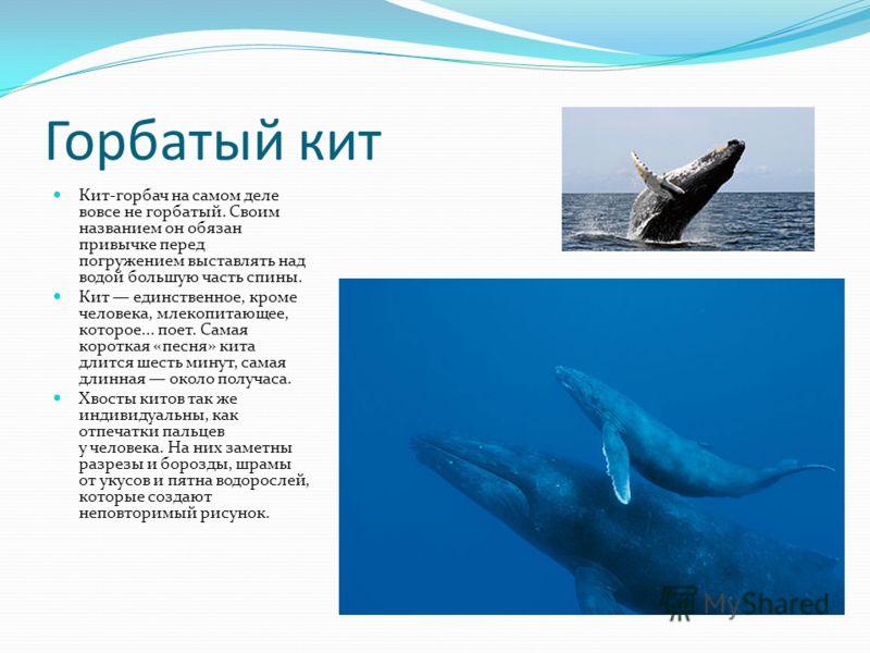Горбатый кит Кит-горбач на самом деле вовсе не горбатый. Своим названием он обязан привычке перед погружением выставлять над водой большую часть спины. Кит единственное, кроме человека, млекопитающее, которое... поет. Самая короткая «песня» кита длит
