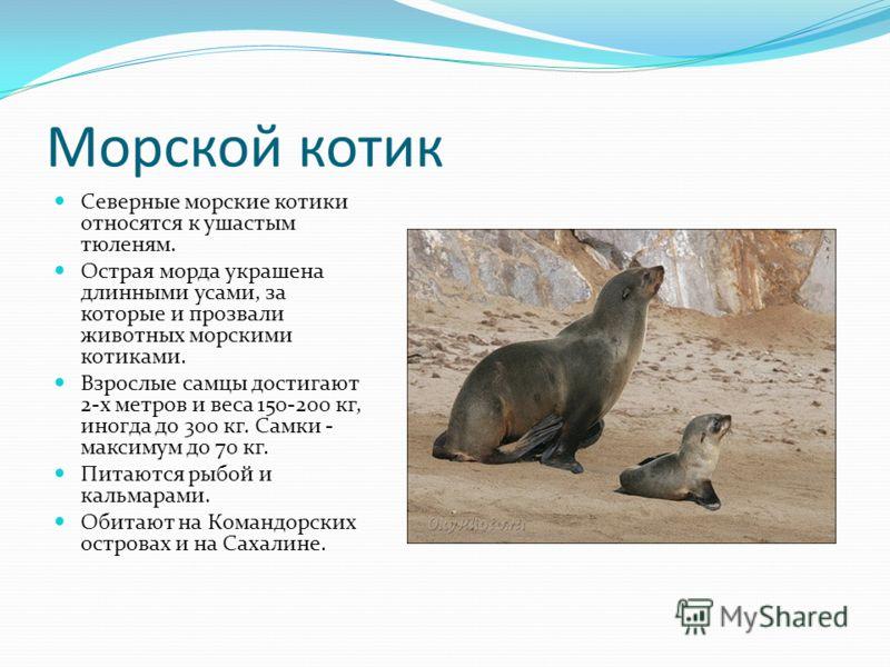 Морской котик Северные морские котики относятся к ушастым тюленям. Острая морда украшена длинными усами, за которые и прозвали животных морскими котиками. Взрослые самцы достигают 2-х метров и веса 150-200 кг, иногда до 300 кг. Самки - максимум до 70