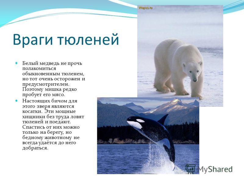 Враги тюленей Белый медведь не прочь полакомиться обыкновенным тюленем, но тот очень осторожен и предусмотрителен. Поэтому мишка редко пробует его мясо. Настоящих бичом для этого зверя являются косатки. Эти мощные хищники без труда ловят тюленей и по