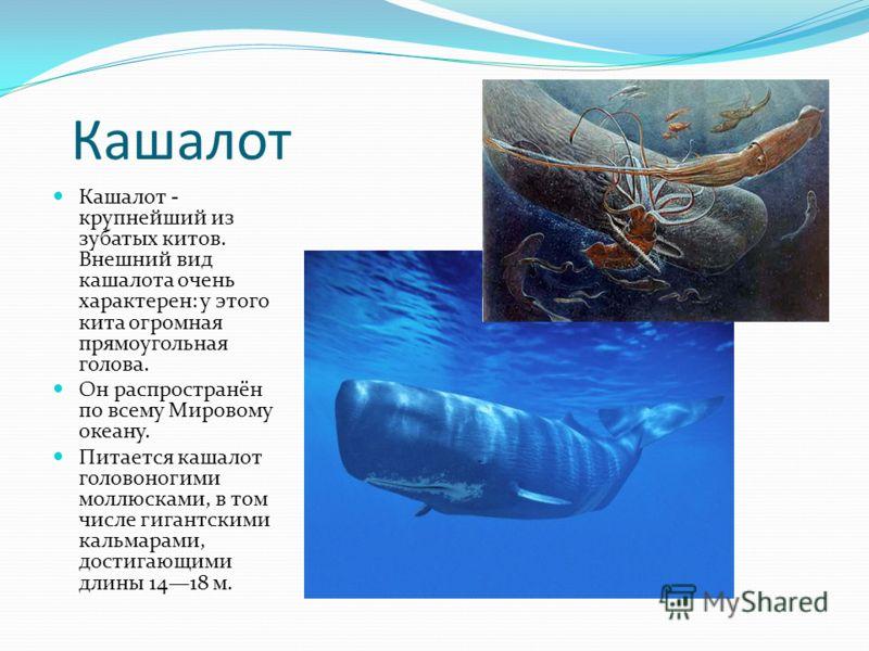 Кашалот Кашалот - крупнейший из зубатых китов. Внешний вид кашалота очень характерен: у этого кита огромная прямоугольная голова. Он распространён по всему Мировому океану. Питается кашалот головоногими моллюсками, в том числе гигантскими кальмарами,