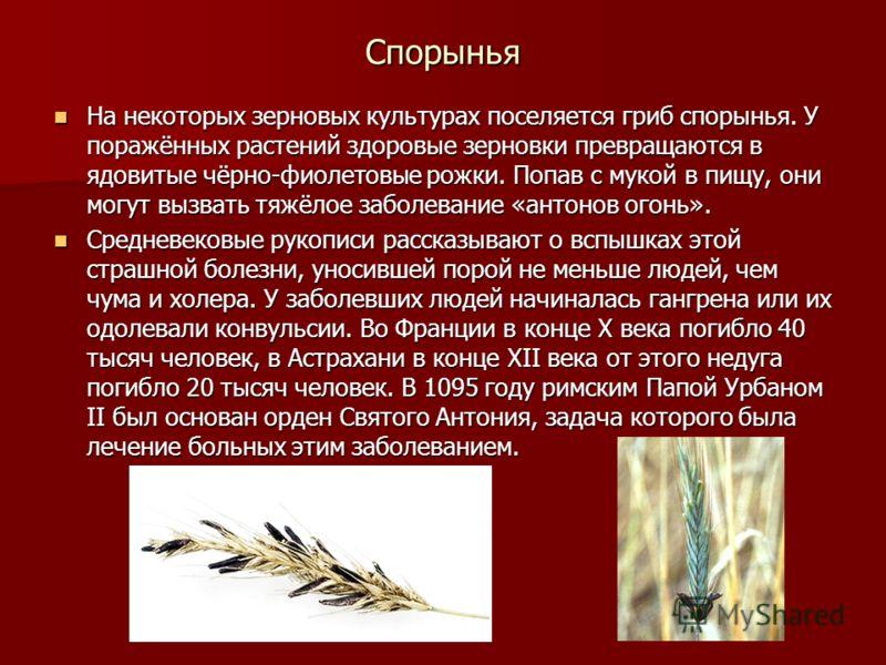 Спорынья На некоторых зерновых культурах поселяется гриб спорынья. У поражённых растений здоровые зерновки превращаются в ядовитые чёрно-фиолетовые рожки. Попав с мукой в пищу, они могут вызвать тяжёлое заболевание «антонов огонь». На некоторых зерно