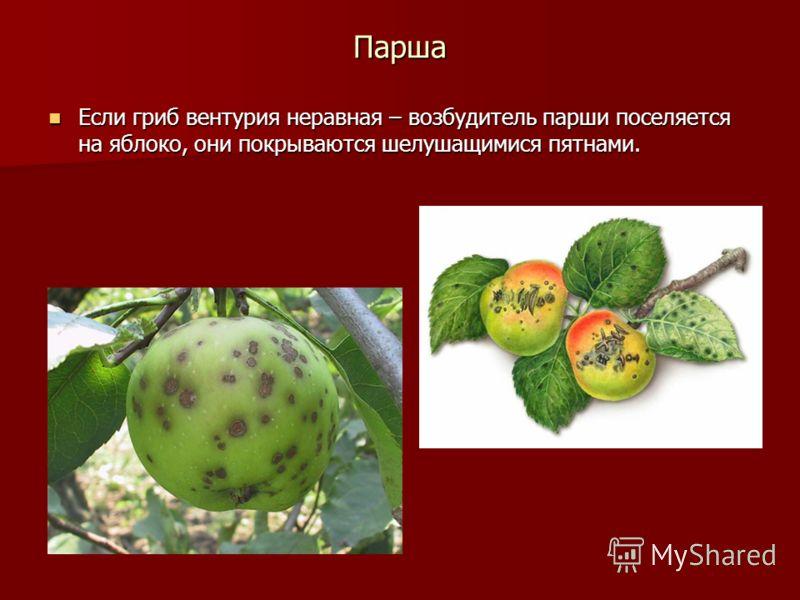 Парша Если гриб вентурия неравная – возбудитель парши поселяется на яблоко, они покрываются шелушащимися пятнами. Если гриб вентурия неравная – возбудитель парши поселяется на яблоко, они покрываются шелушащимися пятнами.