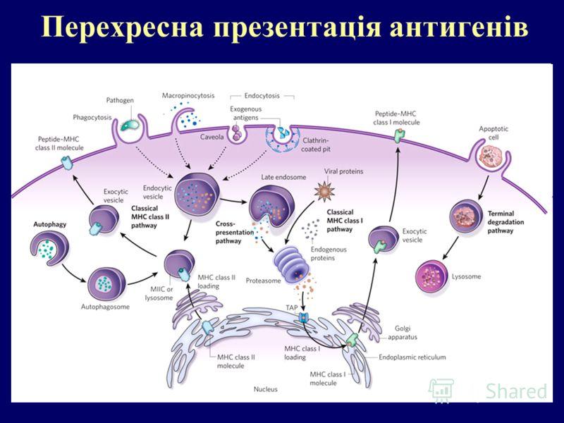 Перехресна презентація антигенів
