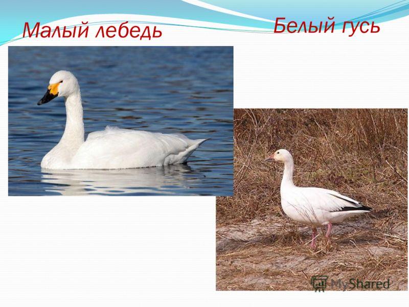 Белый гусь Малый лебедь