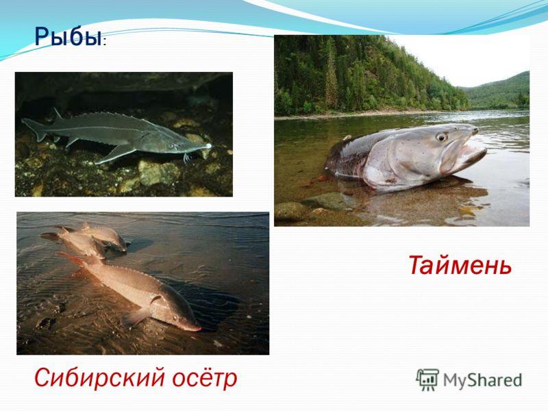 Рыбы : Сибирский осётр Таймень