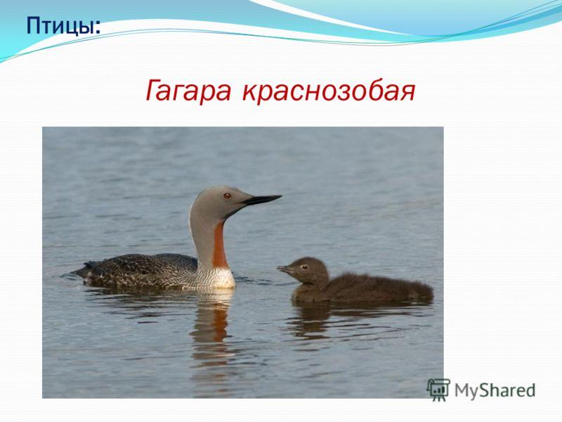 Птицы: Гагара краснозобая