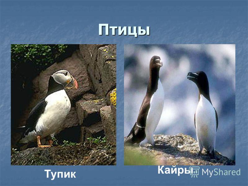 Птицы Тупик Кайры
