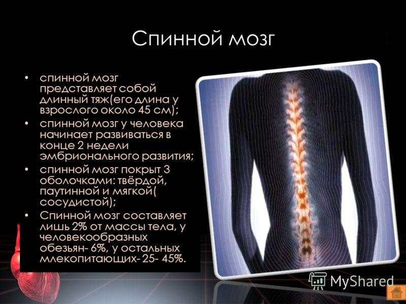Спинной мозг спинной мозг представляет собой длинный тяж(его длина у взрослого около 45 см); спинной мозг у человека начинает развиваться в конце 2 недели эмбрионального развития; спинной мозг покрыт 3 оболочками: твёрдой, паутинной и мягкой( сосудис
