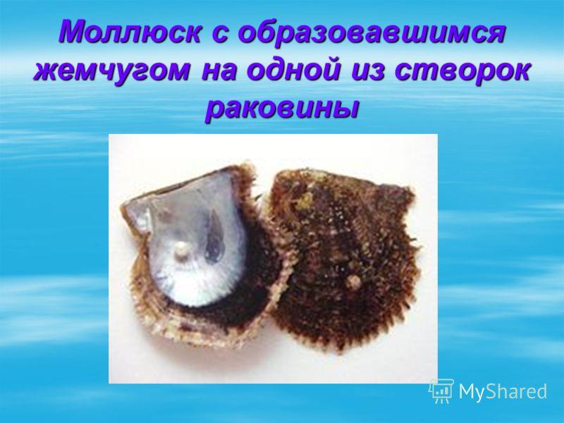 Моллюск с образовавшимся жемчугом на одной из створок раковины