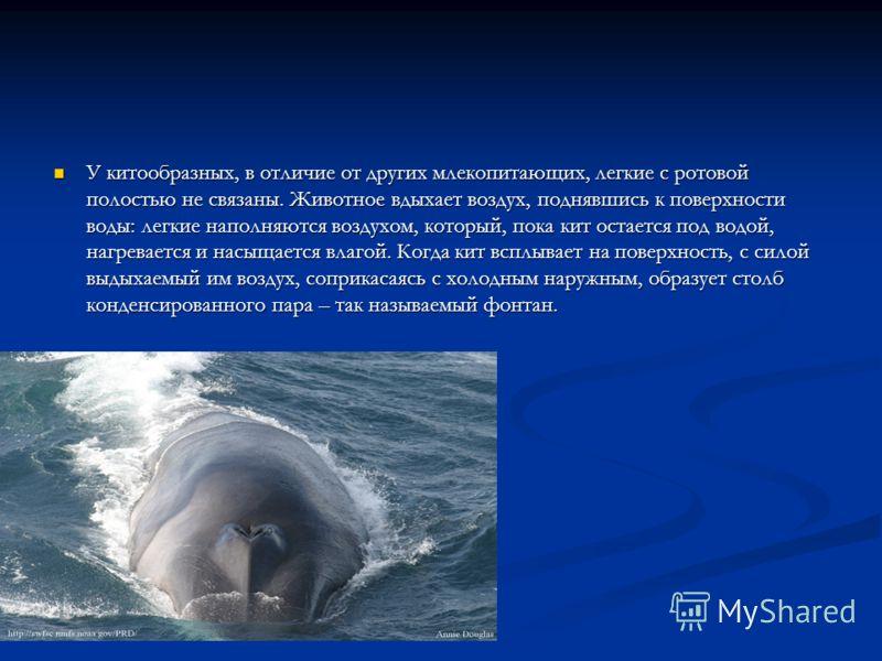 У китообразных, в отличие от других млекопитающих, легкие с ротовой полостью не связаны. Животное вдыхает воздух, поднявшись к поверхности воды: легкие наполняются воздухом, который, пока кит остается под водой, нагревается и насыщается влагой. Когда