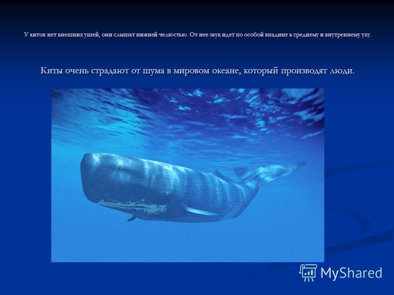 У китов нет внешних ушей, они слышат нижней челюстью. От нее звук идет по особой впадине к среднему и внутреннему уху. Киты очень страдают от шума в мировом океане, который производят люди.