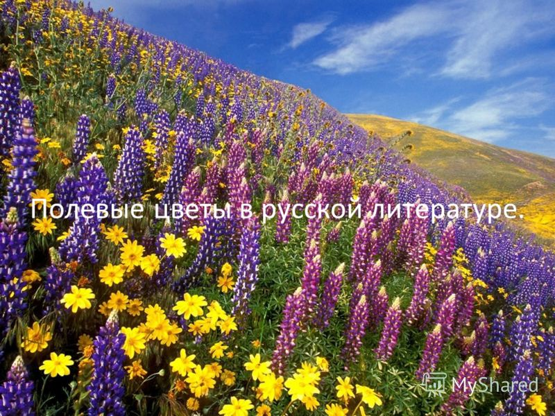 Полевые цветы в русской литературе.