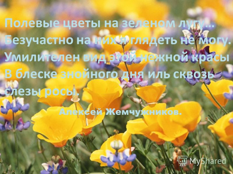 Полевые цветы на зеленом лугу… Безучастно на них я глядеть не могу. Умилителен вид этой нежной красы В блеске знойного дня иль сквозь слезы росы. Алексей Жемчужников.