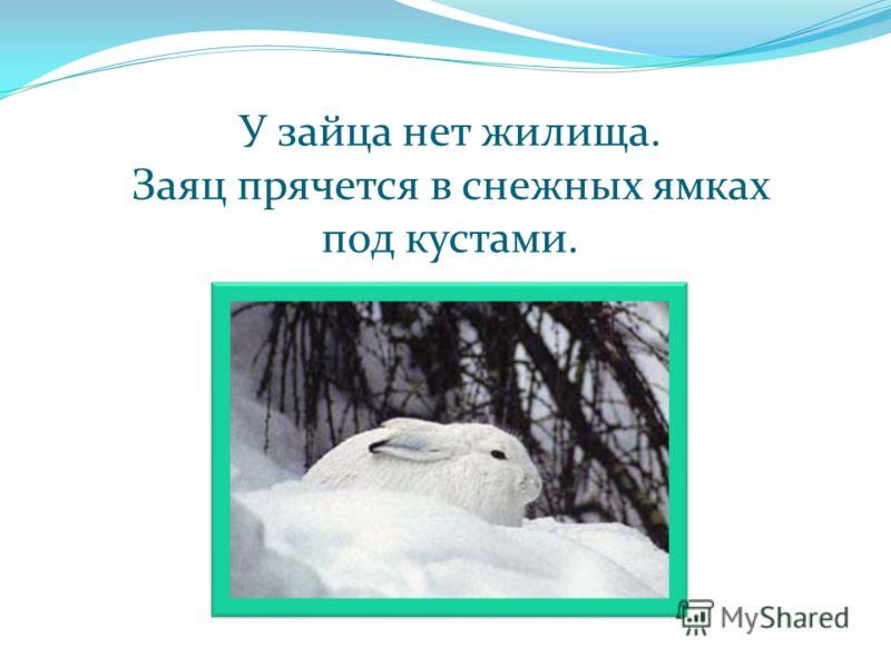 У зайца нет жилища. Заяц прячется в снежных ямках под кустами.