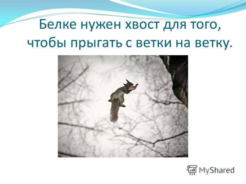 Белке нужен хвост для того, чтобы прыгать с ветки на ветку.