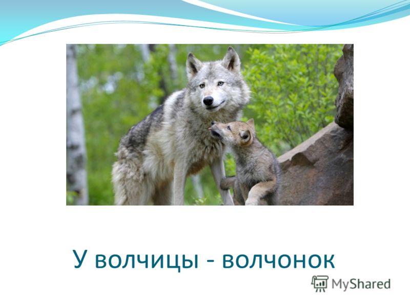 У волчицы - волчонок