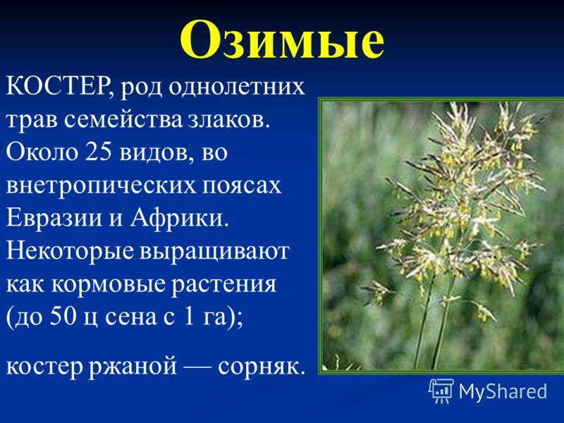 Яровые мокрица Размножаются только семенами, всходят весной или летом и заканчивают свое развитие в течение одного вегетационного периода.