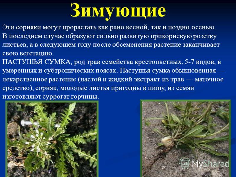 КОСТЕР, род однолетних трав семейства злаков. Около 25 видов, во внетропических поясах Евразии и Африки. Некоторые выращивают как кормовые растения (до 50 ц сена с 1 га); костер ржаной сорняк. Озимые