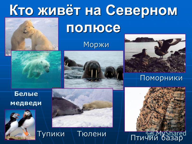 Кто живёт на Северном полюсе Поморники ТупикиТюлени Моржи Белыемедведи Птичий базар