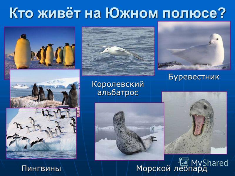 Кто живёт на Южном полюсе? Морской леопард Буревестник Королевский альбатрос Пингвины