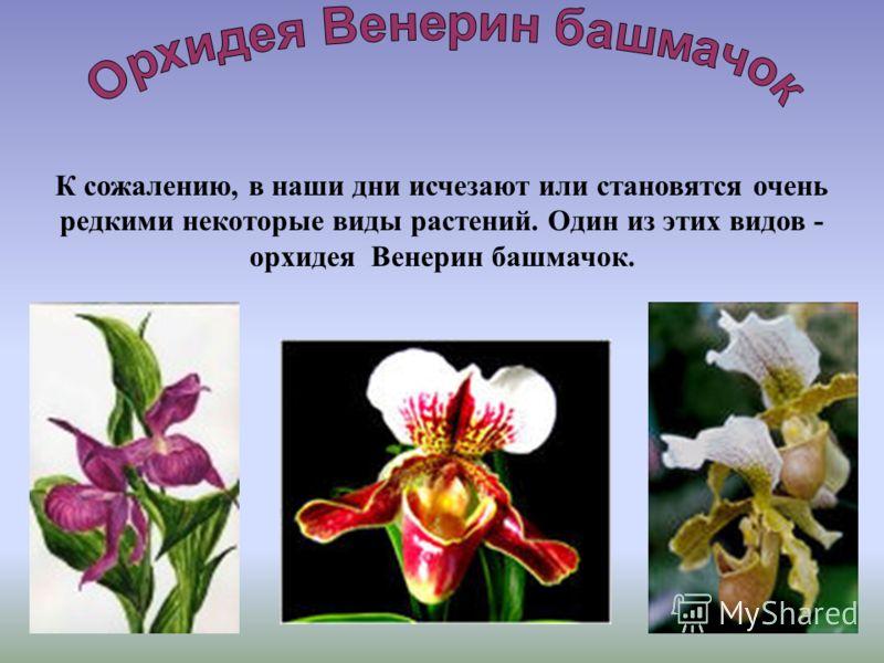 К сожалению, в наши дни исчезают или становятся очень редкими некоторые виды растений. Один из этих видов - орхидея Венерин башмачок.