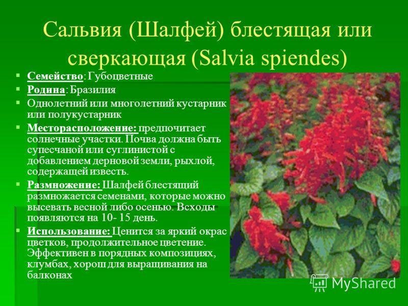 Сальвия (Шалфей) блестящая или сверкающая (Salvia spiendes) Семейство: Губоцветные Родина: Бразилия Однолетний или многолетний кустарник или полукустарник Месторасположение: предпочитает солнечные участки. Почва должна быть супесчаной или суглинистой