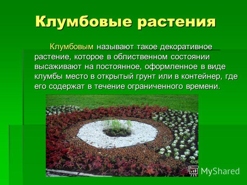 Клумбовые растения Клумбовым называют такое декоративное растение, которое в облиственном состоянии высаживают на постоянное, оформленное в виде клумбы место в открытый грунт или в контейнер, где его содержат в течение ограниченного времени.